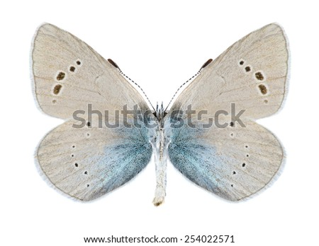 Butterfly Glaucopsyche alexis (male) (underside) on a white background - stock photo