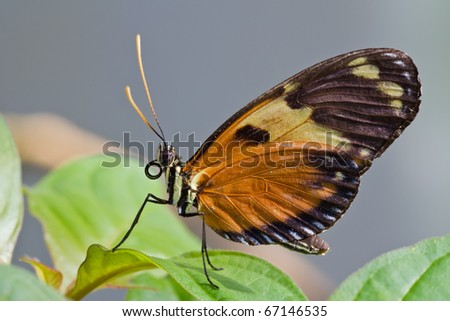 butterfly Heliconia hecale resting on a leaf - stock photo