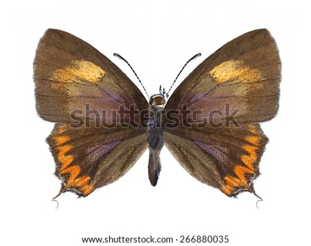 Butterfly Heliophorus epicles on a white background - stock photo