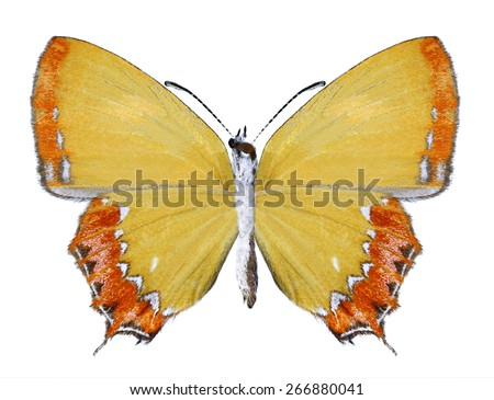 Butterfly Heliophorus epicles (underside) on a white background - stock photo