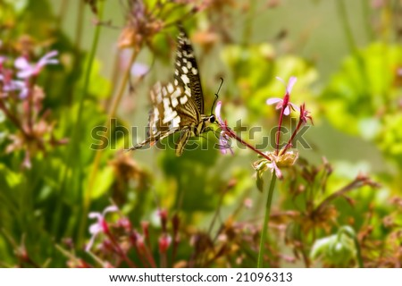 butterfly hovering and feeding at flower - stock photo