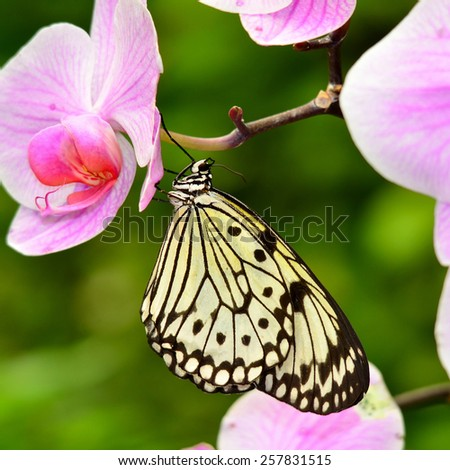butterfly Idea leuconoe - stock photo