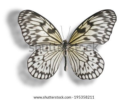 Butterfly species prioneris philonome isolated on fotka for White paper butterflies