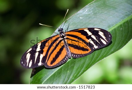 Butterfly in Costa Rica - stock photo