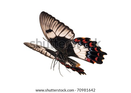 Butterfly in flight, Orchard Swallowtail, Papilio Aegeus, female, wingspan 108mm - stock photo