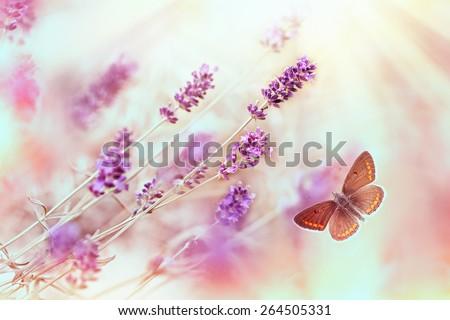 Butterfly in lavender garden - stock photo