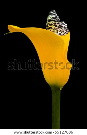 butterfly in yellow calla lily - stock photo