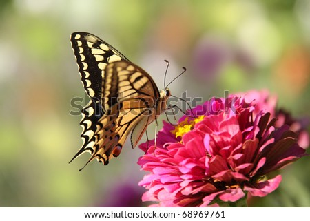 Butterfly (Iphiclides podalirius) on pink flower - stock photo