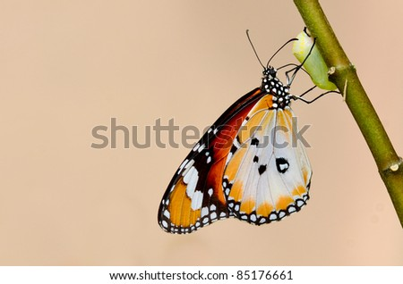 butterfly kiss the pupa - stock photo