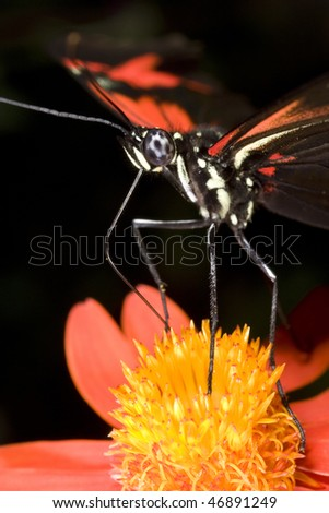 Butterfly landing on orange flower with black background - stock photo