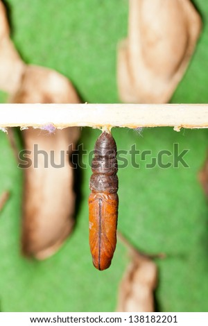 Butterfly larva hanging from a stick - stock photo