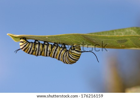 Butterfly larvae can be very colorful and hard to miss. - stock photo