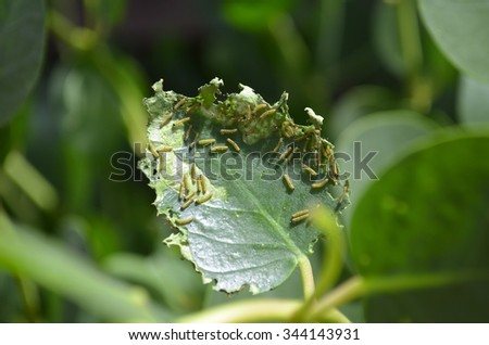 Butterfly larvae / caterpillars eating a leaf - stock photo
