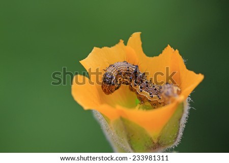 butterfly larvae in yellow flowers, closeup of photo - stock photo