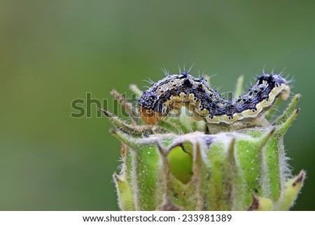 butterfly larvae on abutilon fruit, closeup of photo - stock photo
