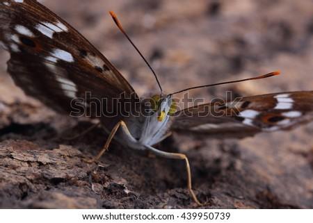 Butterfly - Lesser Purple Emperor (Apatura ilia) sitting on tree. Macro - stock photo