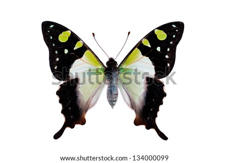 Butterfly - Macleays Swallowtail, Graphium macleayanus - stock photo