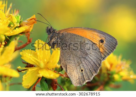 Butterfly - Meadow brown (Maniola jurtina) covered morning dew. Macro - stock photo