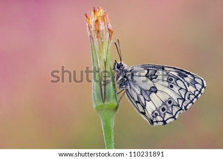 Butterfly Melanargia galathea - Marbled White - on a Tragopogon pratensis plant (Showy Goat's-beard, Jack-go-to-bed-at-noon) - stock photo