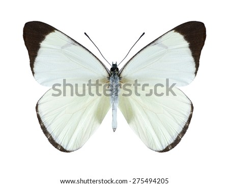 Butterfly Melete lycimnia on a white background - stock photo