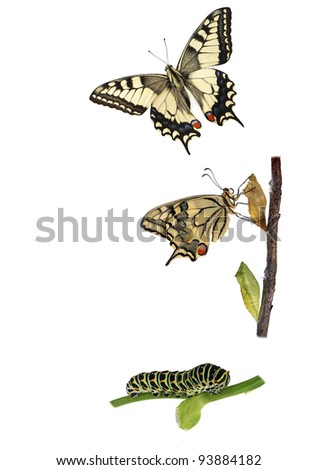 Butterfly Metamorphosis. Metamorphosis of the swallowtail butterfly (Papilio machaon) showing caterpillar, chrysalis and adult. - stock photo