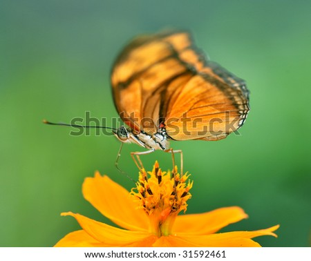 butterfly, monarch butterfly macro close up feeding on flower costa rica  - stock photo