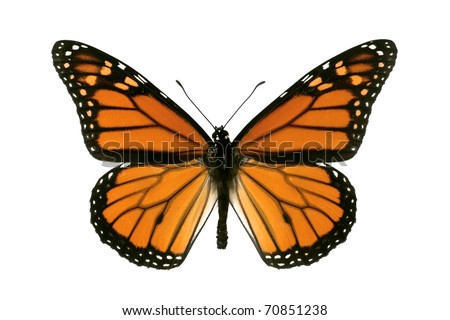 Butterfly, Monarch, Milkweed, Wanderer, Danaus plexippus, male, wingspan 93 mm - stock photo