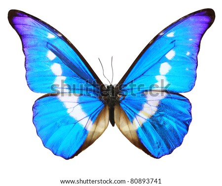 Butterfly morpho Rhetenor cacica isolated over white background - stock photo