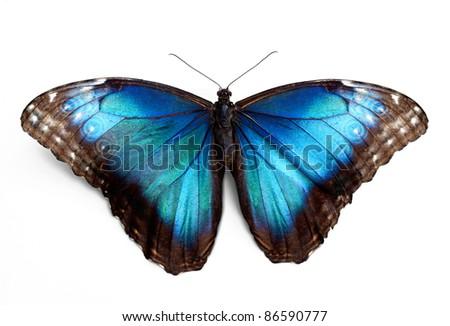Butterfly morpho Rhetenor cacica isolated over white background - stock photo