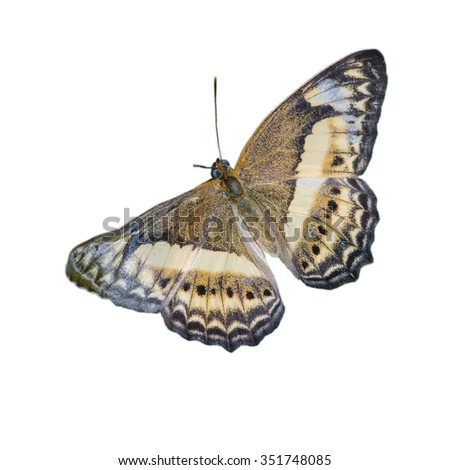 Butterfly named Little Banded Yeoman isolated on white background. Scientific name Paduca fasciata