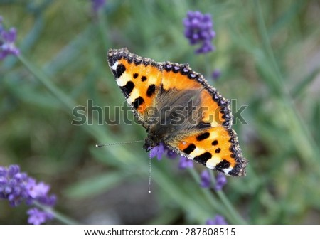 Butterfly on a lavender flower as closeup
