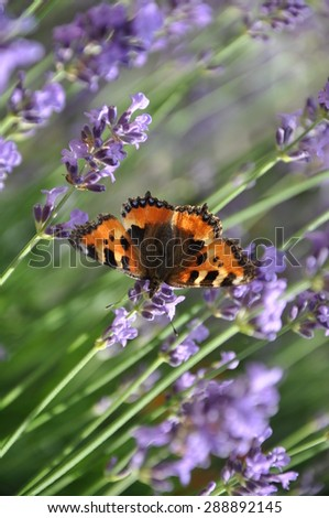 Butterfly on a lavender flowers - stock photo