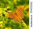Butterfly on a yellow flower (Silver-Washed fritillary) - stock photo
