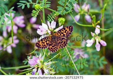 Butterfly on alpine aster flower. - stock photo