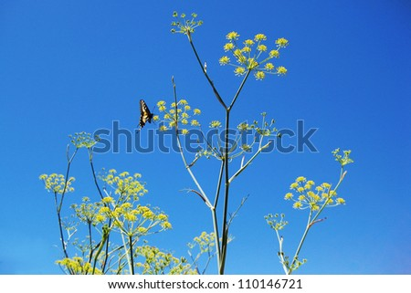 Butterfly on Anise plant - stock photo