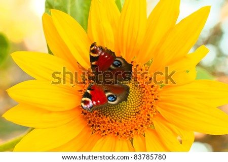 butterfly on bright yellow flower - stock photo