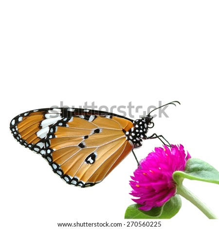 butterfly on flower isolated on white background (The Plain Tiger) - stock photo