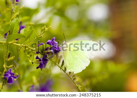 Butterfly on flowers for nectar and pollen of flowers. - stock photo
