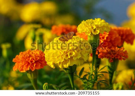 butterfly on Lantana Camara flowers. - stock photo