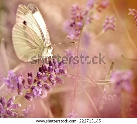 Butterfly on lavender - stock photo