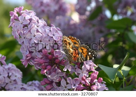 Butterfly on Lilac Flower - stock photo