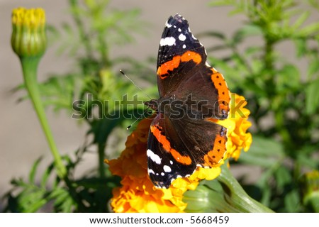 butterfly on marigold - stock photo