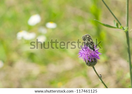 butterfly on milk thistle