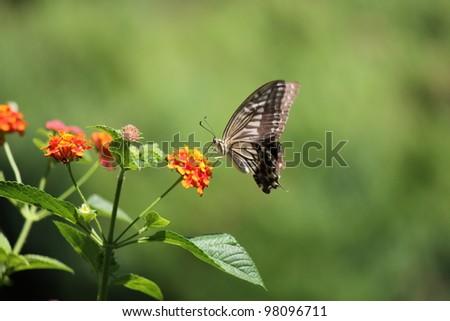 Butterfly on orange flower - stock photo