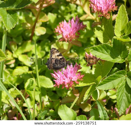Butterfly on pink flowers. Aglais urticae butterfly.