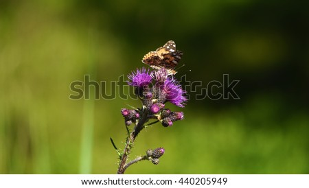 Butterfly on pink violet thistle flower