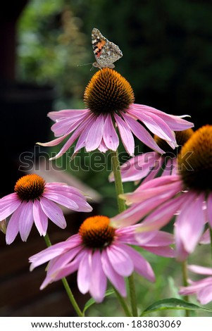 Butterfly on purple flowers  - stock photo