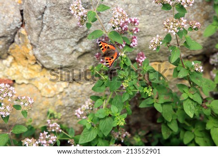 Butterfly on purple flowers of oregano ( Origanum vulgare ). Rustic eco garden. - stock photo
