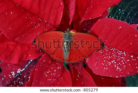 butterfly on red poinsettia-both tropical species & velvety red to get you in the holiday spirit. - stock photo