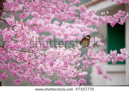 Butterfly on sakura tree with nice background - stock photo